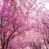 20度を超えるドイツは桜も見頃に ドイツの桜並木