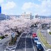 平和通りの桜(日立市)