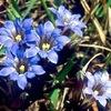 リンドウ(2) 山野草の代表と見なされてきたリンドウ.島倉千代子「りんどう峠(西条八十作詞)」にあるように,どこの峠にも見られたのでしょうが---.リンドウを探すことも難しくなってしまっているようです. 県花,市町村花にリンドウを指定している所は多いのですが,現在自生しているところはわずかのよう./ 古来,人気があったリンドウですが,何故か,万葉集では詠まれることなく,古今集にもあまり取りあげられていません.