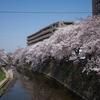 大岡川桜探訪 #1