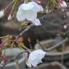 うちの桜も開花