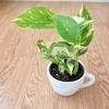スーパーで買った観葉植物がちょっとオシャレに変身しました!