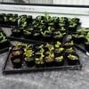 白菜とサニーレタスを定植しました。