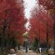 アメリカフウ並木の紅葉