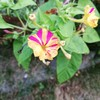 『今日はお庭で4時〜』オシロイバナの開花!