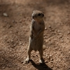 フェニックスのマルオジリス(Round-tailed Ground Squirrel)