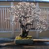 大宮盆栽美術館の野梅が咲く
