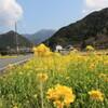 休耕田の菜の花