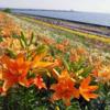 大輪のユリと大阪湾のコラボレーション「大阪舞洲ゆり園」(大阪市)
