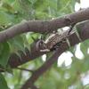 イタチの争いと今年初のセミ(大阪城野鳥探鳥 20200620 4:35-9:05)