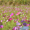 【2019年 伊勢志摩 観光】鵜方 コスモス畑。地元スタッフが写真で贈るおすすめスポット。