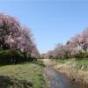 多摩川桜百景 -51. 野川沿いの紅枝垂れ桜-