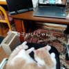 雨田甘夏、占拠です。【猫とワークスペース事情】