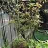 今年こそ、金木犀(キンモクセイ)の花が咲いてくれるかな?