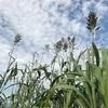 肥料代0円の緑肥植物。ソルゴーは虫除け、風除けにもなり最適。