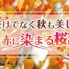 桜は春だけじゃない!秋の京都で真っ赤に染まる桜紅葉(さくらもみじ)