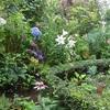 今朝の庭・・・ユリ次々と