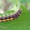 オレンジと黒の毛虫に注意 ドクガ科の幼虫