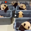 中国のパンダ保護区で赤ちゃん誕生ラッシュです