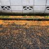 金木犀の落花弁