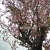 八重桜🌸満開