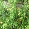 トマトの色々
