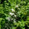 ミントの花2