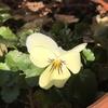 こぼれ種育ちのビオラの開花。トルムニア、パフィオペディルムの成長