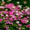 滋賀・醒ヶ井 - 地蔵川に咲く梅花藻