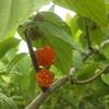 モミジイチゴの葉は粉っぽい、実は極上の味