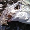 【ライトゲーム釣行】パームス・ミルドレッドソルトを使った漁港でのライトゲーム!
