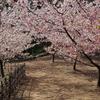 満開の河津桜とメジロ 2017 3月