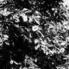 OLYMPUSのコンデジ 「XZ-10」で2017年3月6日までに撮影した写真を紹介します。アブラチャンと雨の日のコブシ
