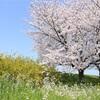 ついに満開!桜撮影。