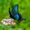 蝶々をよく目撃するのは幸福のサイン