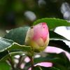 色づいた山茶花のつぼみ