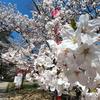 和歌山城 桜まつり