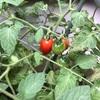 今年ミニトマトの栽培成功しました