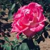 【写真】こんな小春日和のぉぉ、穏やかなぁぁ日はぁぁ♪秋薔薇と黄色いコスモスを愛でたある秋の日☆