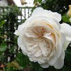 バラ、ソンブレイユ、シュートを育ててもっと咲くようにしたい!