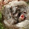 野鳥のヒナは、口を開けたまま爆睡する