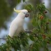 サクランボと野鳥PART 2(移民の国)