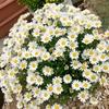 白くてかわいい花、ノースポールのニオイに注意!贈り物には不向き?