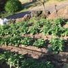 おみぃ家のお野菜群:それぞれの進捗状況 2020年4月29日 (ほぼほぼ写真のみでお送りいたしております。)。