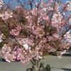 今年の桜も疎らに咲いた 駿府城公園