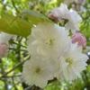 奈良県営馬見丘陵公園のナラノヤエザクラ(4月中旬~下旬)