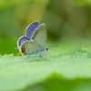 ツバメシジミ・・・かわいいポイントを押さえまくった蝶