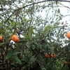 この柿はデカイ 実験