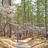 19日(月)から富士吉田のふじざくら祭り開催予定