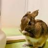 ウサギの日課「毛づくろい」